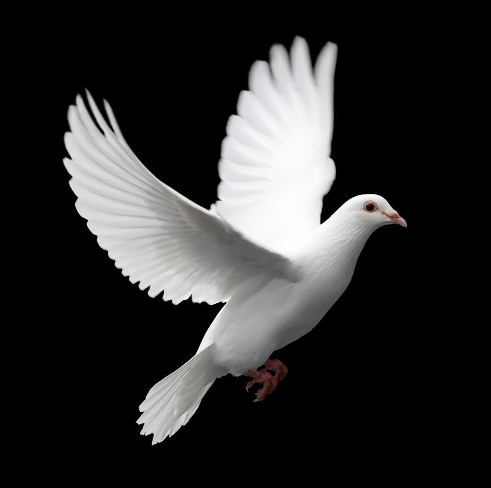 White-Pigeon-Peace-Iran-Persia